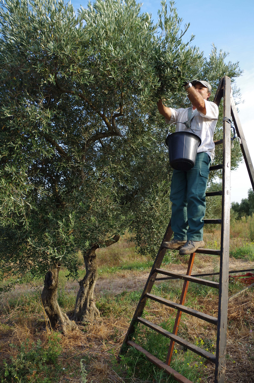 Das beste Olivenöl gibt es dann, wenn die Ernte handgelesen wird.